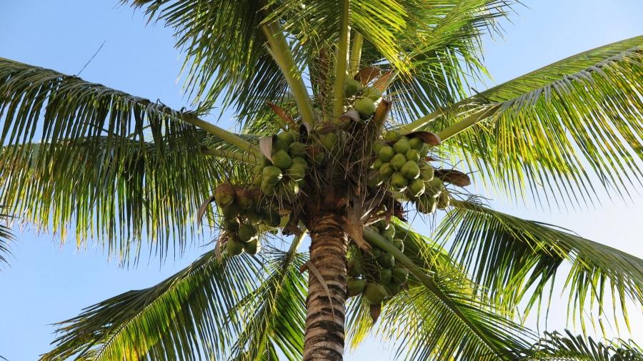 Głodówka na wodzie kokosowej